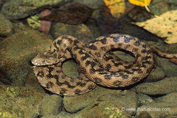 Les Serpent, comment les reconnaître ? Réponse 74697